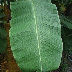 Preparing-Banana-Leavess
